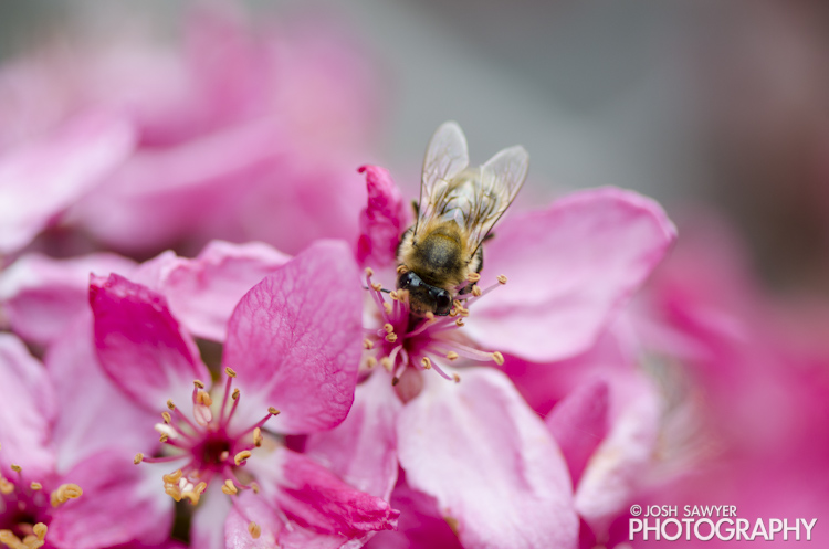 josh sawyer, josh sawyer photography, spring, spring time, flower, macro, bee, apple blossoms