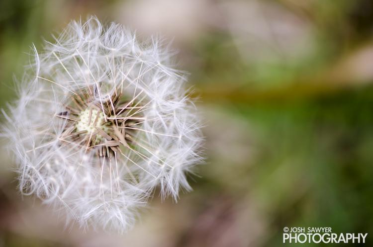 josh sawyer, josh sawyer photography, spring, spring time, flower, macro, dandelion