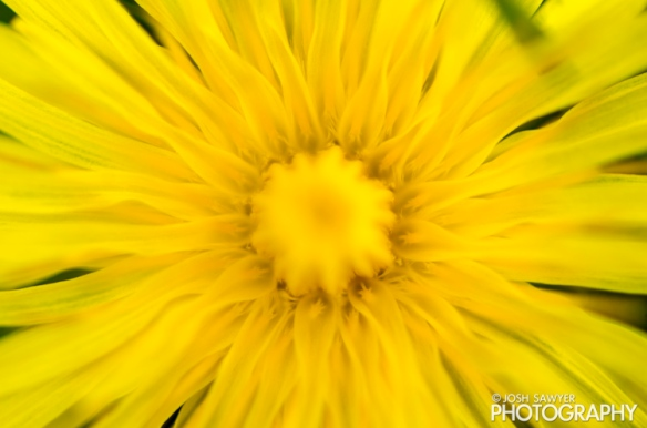 josh sawyer, josh sawyer photography, spring, spring time, flower, macro, yellow flower