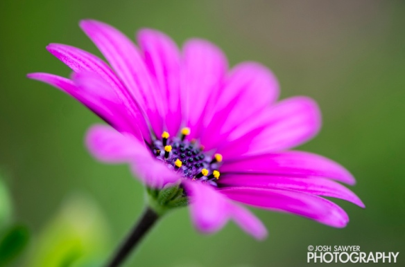josh sawyer, josh sawyer photography, spring, spring time, flower, macro, purple flower, african daisy